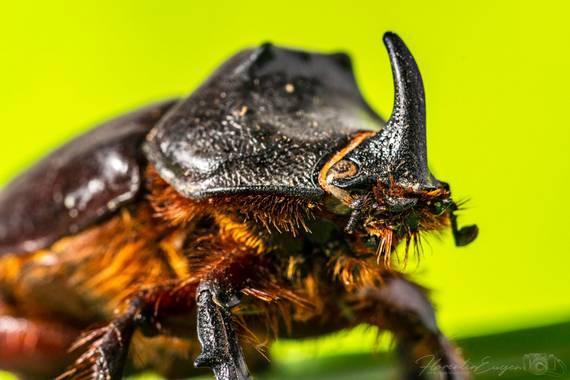 Florentinoeugenio en Hamelin: Fauna  (Coslada), #escarabajorinoceronte