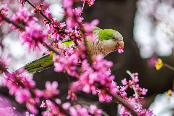 Julieta en Hamelin: Fauna  (Madrid), Las cotorras son una especie invasora en Madrid que está diezmando la población de aves autóctonas, porque compiten en...