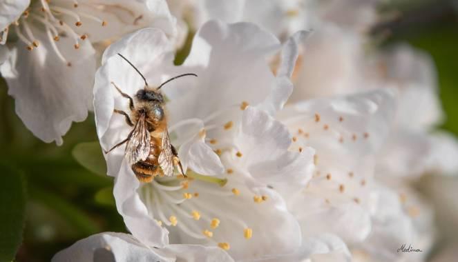 Vanessa_sm en Hamelin: Fauna, #flor #abeja #primavera #fauna