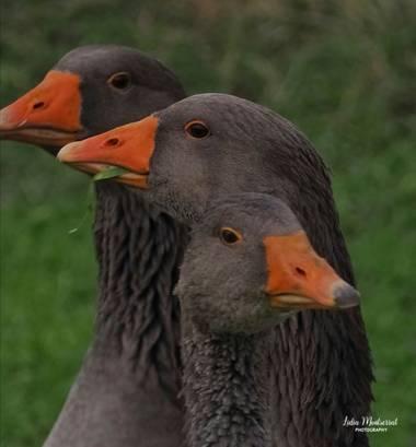 Lidia__lmr38 en Hamelin: Fauna  (Zaragoza), Anser anser (Linnaeus, 1758), #aves21