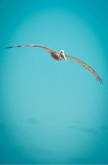 Ylenia_fd en Hamelin: Fauna, Pelicanus occidentalis carolinensis Gmelin, 1789, #aves21