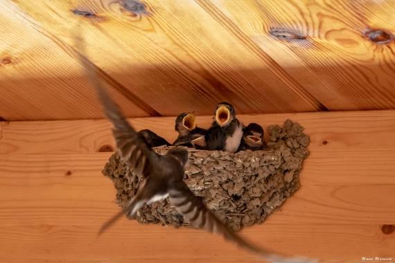 Unai Urresti en Hamelin: Fauna  (Trucios), Hirundo rustica Linnaeus, 1758, Golondrina comun y sus crías.  #aves21 #golondrinacomun  #fauna