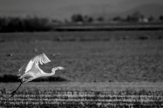 photonature_dicaba en Hamelin: Fauna  (Valencia), Ardea alba Linnaeus, 1758, #aves21