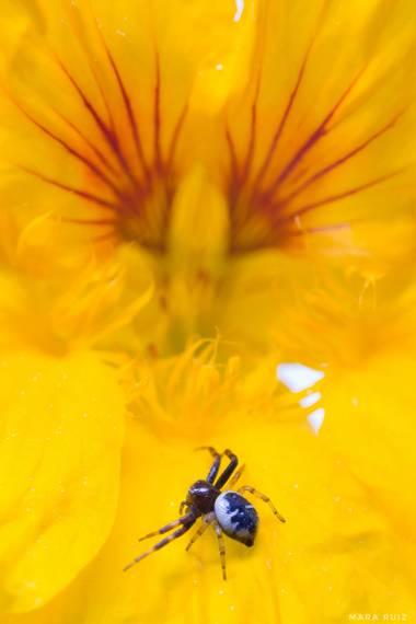Mararuizasensio en Hamelin: Fauna  (Marbella), Flor-araña #ParquesyJardines #macro #insecto #araña #spider #flor #amarilla #huaweiphotography #p30pro #flor...