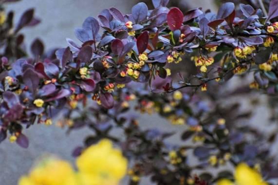Belenhernandezg en Hamelin: Flora  (Soto del Real), Berberis thunbergii, @spring