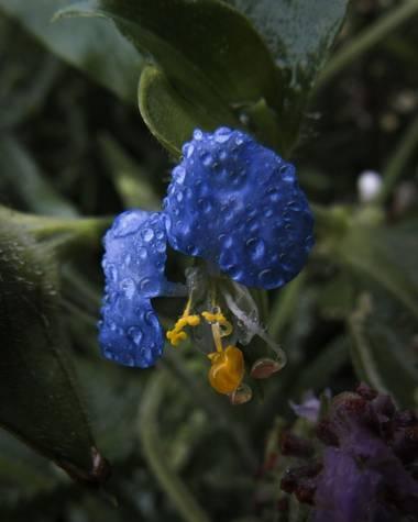 Pikeriel en Hamelin: Flora, Sólo una flor..