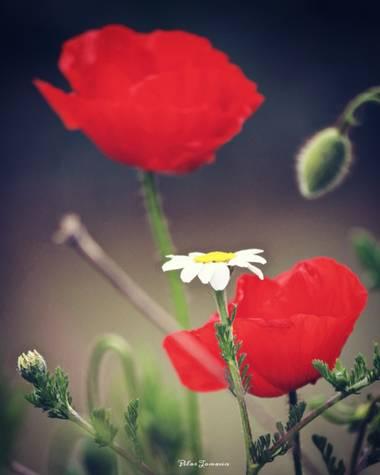 Yatoma66 en Hamelin: Flora  (Nuevo Baztán), Preciosas amapolas! #flora21
