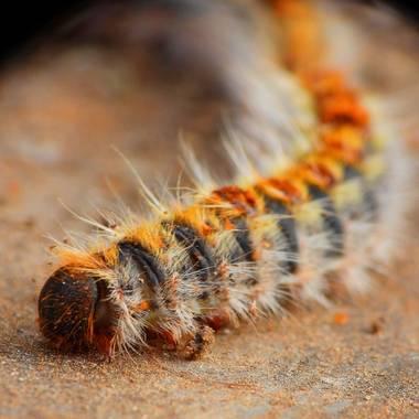 Georginaag en Hamelin: Fauna  (Tordera), #oruga #insecto #orugaprocesonaria #fauna