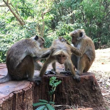 titoernano en Hamelin: Fauna, #monos #srilanka
