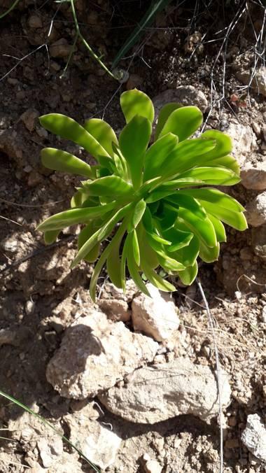 Solerantonio2 en Hamelin: Flora  (Níjar), Aeonium arboreum, Planta en la cala de san pedro