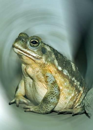 Acedogloria en Hamelin: Fauna  (Junín)