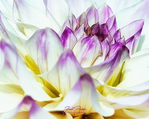Justi en Hamelin: Flora  (Capolat), Dalia, las hay de mil formas y colores!!! #apfb