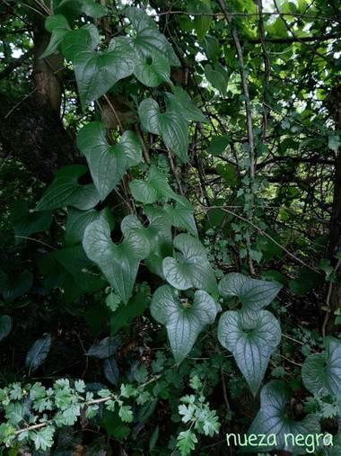 Mpinfante en Hamelin: Flora, Dioscorea communis, .