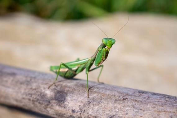 Wreinapa en Hamelin: Fauna  (Sinnai), La Mantis: un misterio y elegancia vestida de verde y enigma.
