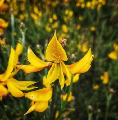 Naomi en Hamelin: Flora  (Barcelona), Spartium junceum, 🌼 #flora21