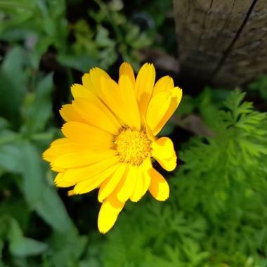 Michael22067 en Hamelin: Flora  (Medellín), Calendula officinalis, #flordecalendula #medellin #colombia #antioquia