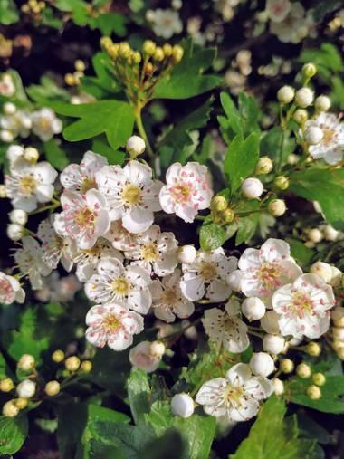Ioana Trif en Hamelin: Flora  (Rociana del Condado), Espino blanco #flora21 #plantamedicinal #florblanca