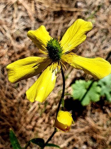 Melchique en Hamelin: Flora  (El Tanque), Ranunculus cortusifolius, Esta planta es una especie nativa en Canarias.  #tenerife #canarias #flora #ranunculus ...