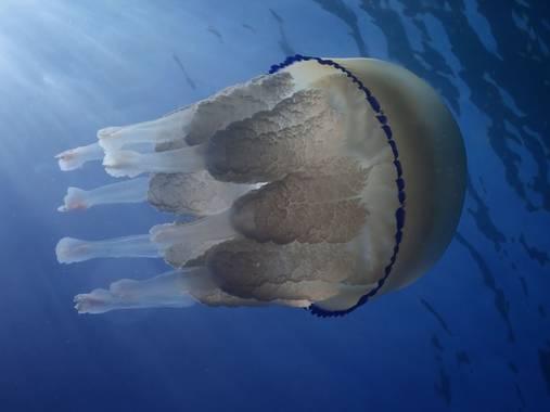 Elisendafv8 en Hamelin: Fauna, #jellyfish #sea #nature #uwphoto