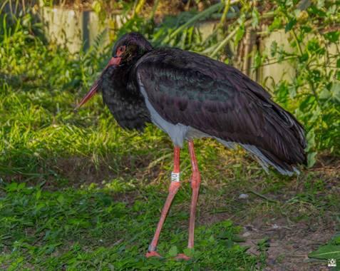 Acorazado3000 en Hamelin: Fauna  (Córdoba), Ciconia nigra (Linnaeus, 1758), Cigüeña Negra.            #fotografiacarloscalvo #cigüeñanegra #ciguena #Aves21...