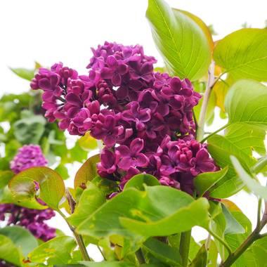 Julialozanoc en Hamelin: Flora  (Daroca), Syringa vulgaris, Lilo de un precioso y brillante color morado #flora21