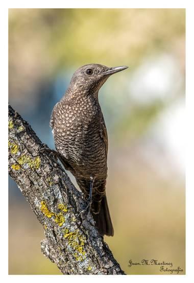 guachinaty1 en Hamelin: Fauna  (Linares), Monticola solitarius (Linnaeus, 1758), Hembra de Roquero solitario. Monticola solitarius El roquero solitario es ...