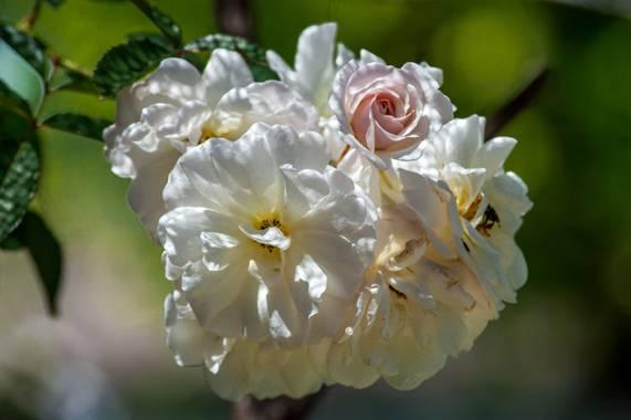 Camiloacca94 en Hamelin: Flora  (Sabanalarga), No conozco que tipo de rosa es, pero le dicen ramo de novia, por como las flores forman un ramo perfectament...
