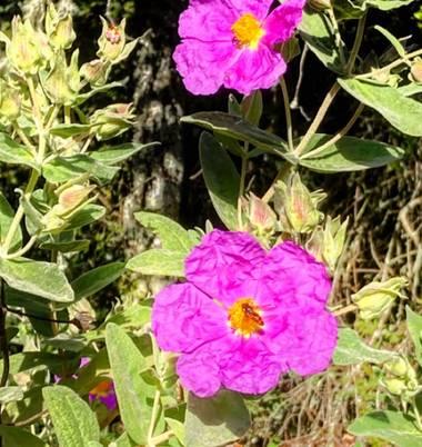 rafdaga  en Hamelin: Flora  (Córdoba), Cistus albidus, Poliniza.