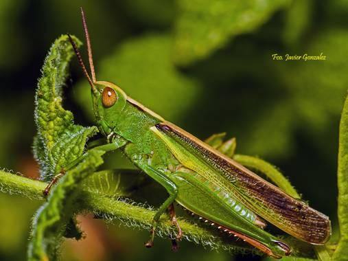 Fco. Javier González en Hamelin: Fauna  (Vigo), #fauna #galicia #macro #insectos