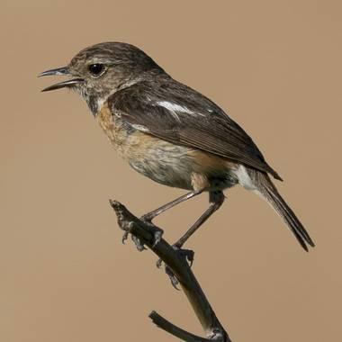 Aitor_gil en Hamelin: Fauna  (Fuentestrún), Saxicola rubicola (Linnaeus, 1766), Hembra de tarabilla Común. Las hembras tienen castaño en vez de negro por e...