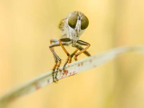 Eritz.cortazar en Hamelin: Fauna  (Cambrils), Mosca ladrona perteneciente al género neoitamus . . . #mosca #fly #asilidae #animal #fauna #florayfauna_es #h...