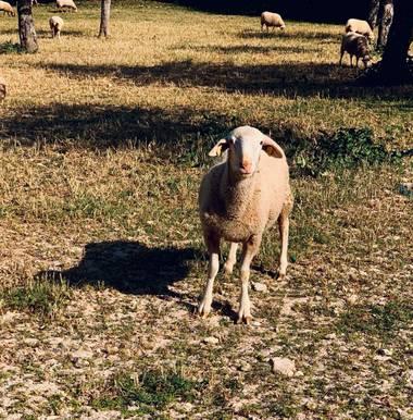 Clari Montal en Hamelin: Fauna  (Sineu), Modelo del día #oveja #mallorca 🐑