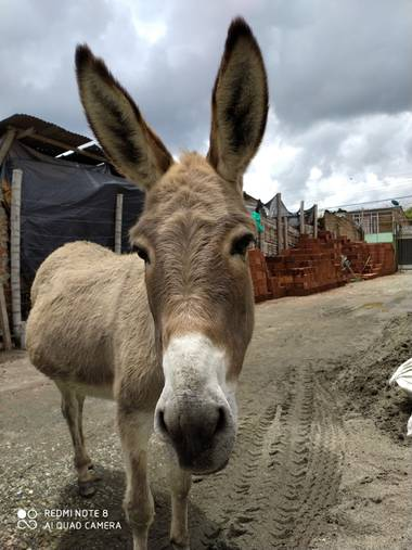reotorozco en Hamelin: Fauna  (La Tebaida), #burro