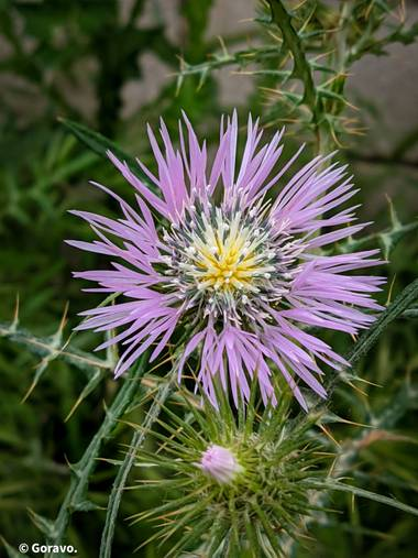 Jordi.avivar1 en Hamelin: Flora  (Montroy), Galactites tomentosus, #flora21