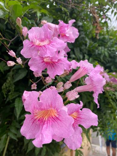 Zetadeuve en Hamelin: Flora  (Santa Cruz de Tenerife), Podranea ricasoliana, #flora21  #tenerifelicidad