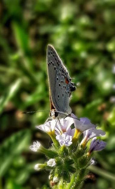 Cr93734 en Hamelin: Fauna  (Ciudad de Buenos Aires), Satyrium californica, la melena de California, es una mariposa de la familia Lycaenidae. Se encuentra ...