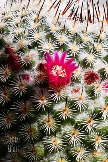 PEROMA_PHOTO en Hamelin: Flora  (Casarabonela), Bella flor del cactus
