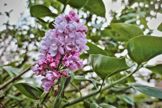 XᵢₓₐWₕᵢₜₑ en Hamelin: Flora  (Barakaldo), Syringa vulgaris L., Syringa vulgaris