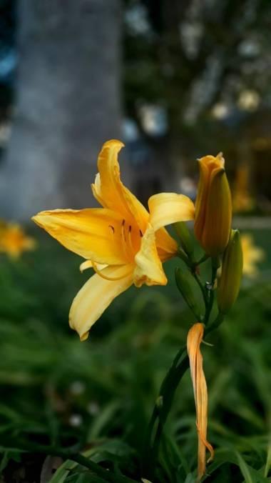 Cr93734 en Hamelin: Flora  (Ciudad de Buenos Aires), Hemerocallis lilioasphodelus,  Es una planta perenne perteneciente a la familia Asphodelaceae. Es orig...