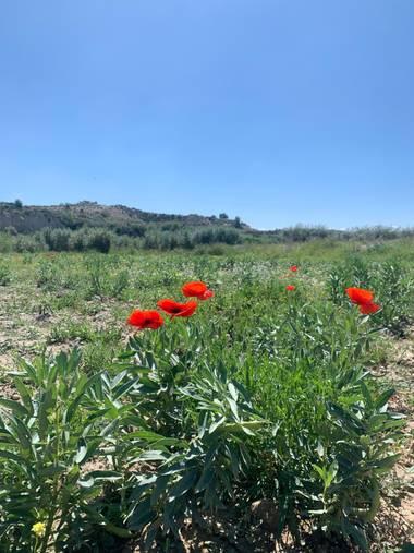 carogv1995 en Hamelin: Flora  (Campos del Río), #Amapola #murciaquehermosaeres #flora21