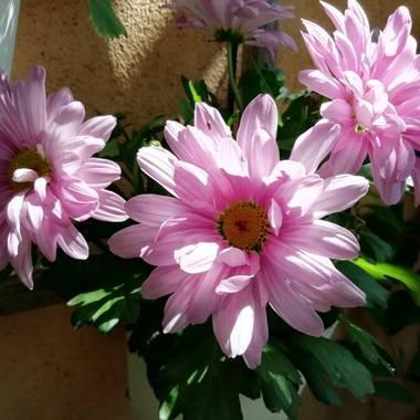 magali.alvarez.paleo en Hamelin: Flora  (Majadahonda), Callistephus chinensis, #flora21