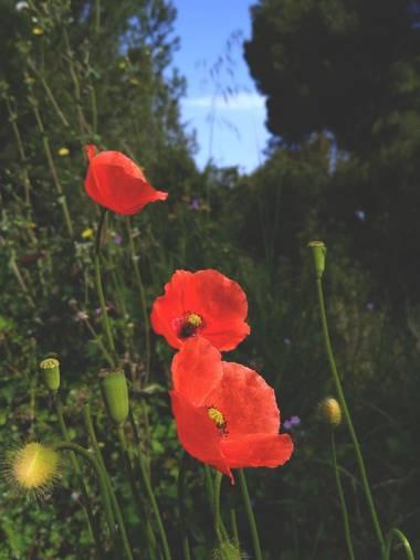 solecanale en Hamelin: Flora  (Santa Margalida), #flor #isla #mallorca #primavera