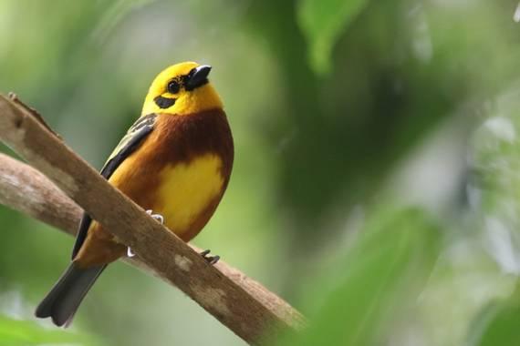 jhonathanmiranda1 en Hamelin: Fauna  (Tovar), #Aves21 Hermosa Tangara Dorada posando para la camara mientras hacía censos de aves para mi proyecto de conse...