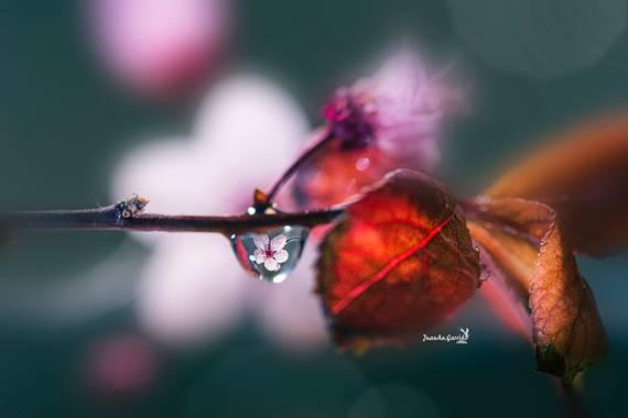 Juanan_garrido en Hamelin: Flora  (San Fernando de Henares), En Japón, la flor de cerezo también puede simbolizar la inocencia, la sencillez, la belleza de...