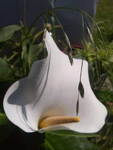 liianalfarth074 en Hamelin: Flora, Flor de cala