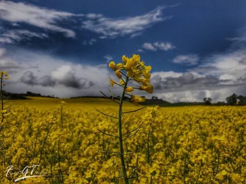 Frankgt48 en Hamelin: Flora  (Colmenar Viejo), Brassica napus, #flora21