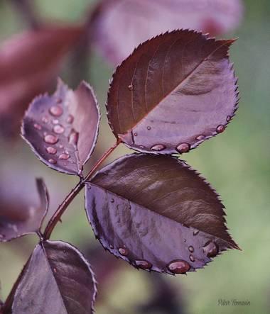 Yatoma66 en Hamelin: Flora  (Móstoles), Tarde de lluvía