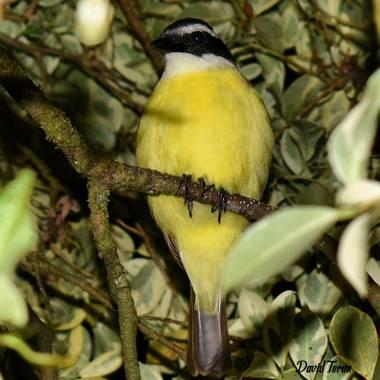Davidlunateran en Hamelin: Fauna  (Mocoa), Pitangus sulphuratus (Linnaeus, 1766), #hamelin #colombia #fotodeldia #photography #