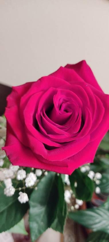 Elmaff en Hamelin: Flora, Rosa chinensis