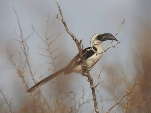 olaya96fg en Hamelin: Fauna  (Kitui), #Aves21